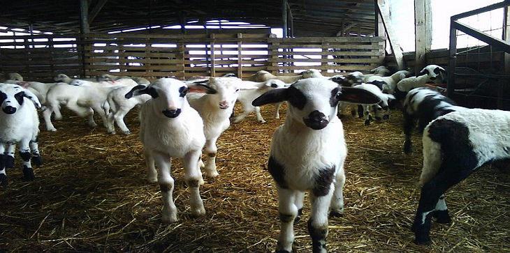 πρόβατα-Φ.-Μπ.-ΕΝΩΣΗ-2-Αντίγραφο