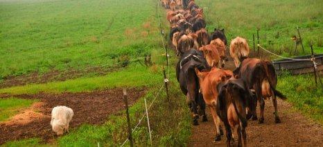 organic_cattle_in_ohio
