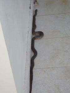 Φίδι σε τρίτο όροφο πολυκατοικίας στο Αγρίνιο