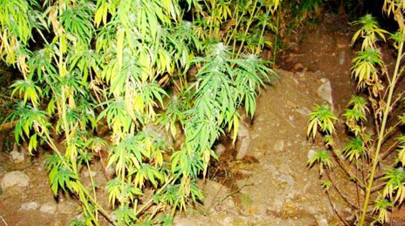 Διάσπαρτα δενδρύλλια χασίς στην περιοχή της Ερμίτσας