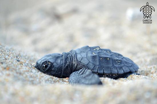Το μεγαλείο της φύσης! Τα πρώτα χελωνάκια του Εθνικού Πάρκου Κοτυχίου-Στροφυλιάς
