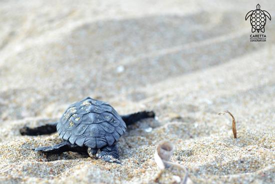 Τα πρώτα χελωνάκια εκκολάφτηκαν στο Κοτύχι!!! Το ταξίδι τους στον Κυλλήνιο κόλπο μόλις ξεκίνησε