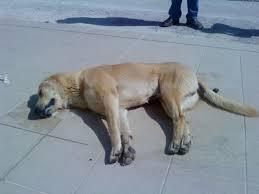 Μεσολόγγι: έρευνα για θανάτωση σκύλου από φόλα