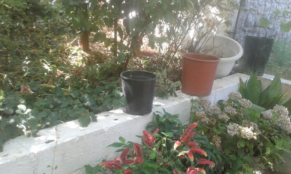 Καλλιεργούσε χασίς στην αυλή του (φωτό)