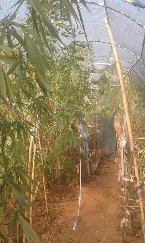 Σε αυτοσχέδιο θερμοκήπιο τα δενδρύλλια χασίς στα Κοκκινοπήλια (φωτο)