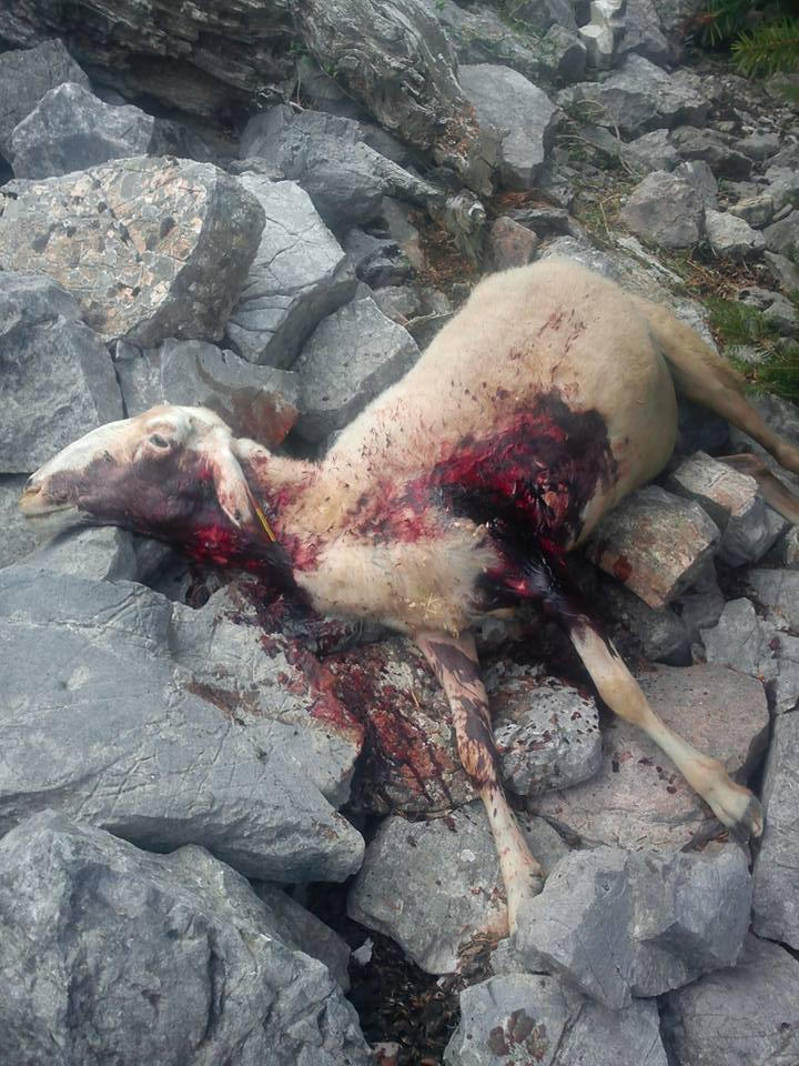 Eπιδρομές λύκων σε κοπαδια στα Ορεινά-Σε απόγνωση οι κτηνοτρόφοι