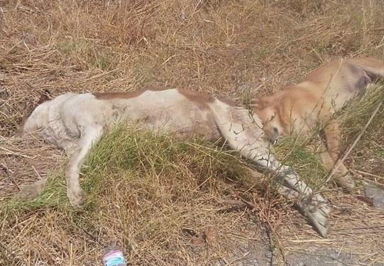 Φόλιασαν και έγδαραν σκυλιά στο Παναιτώλιο- έρευνα από την Αστυνομία