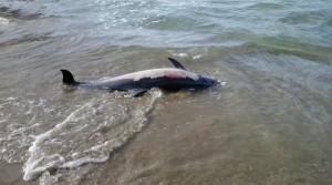 """Νεκρό δελφίνι ξεβράστηκε στην περιοχή """"Πνιγμένος"""" Σπάρτου"""