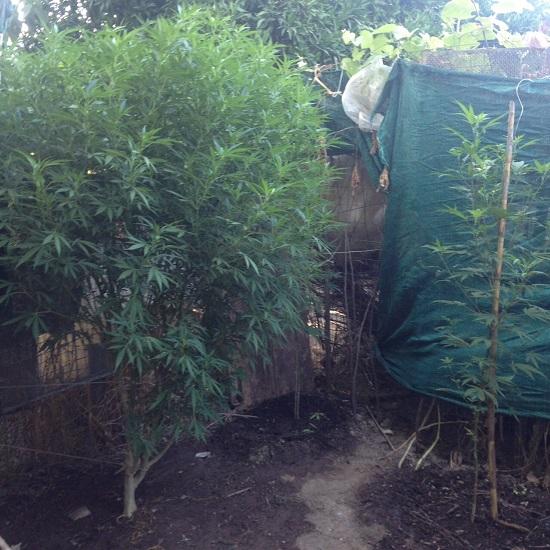 Δενδρύλλια χασίς σε αυλή 43χρονου στο Νεοχώρι (φωτο)