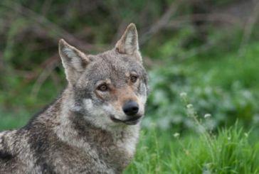 Επιδρομή λύκων στα Παρακαμπύλια