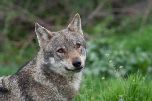 Γενετικά δυνατοί οι λύκοι στην Ελλάδα – Προβληματισμός για τους λύκους που ζευγαρώνουν με σκύλους