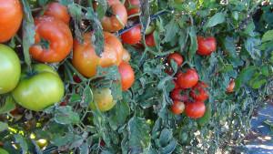 Κλέβουν και τις… ντομάτες στον κάμπο Παναιτωλίου