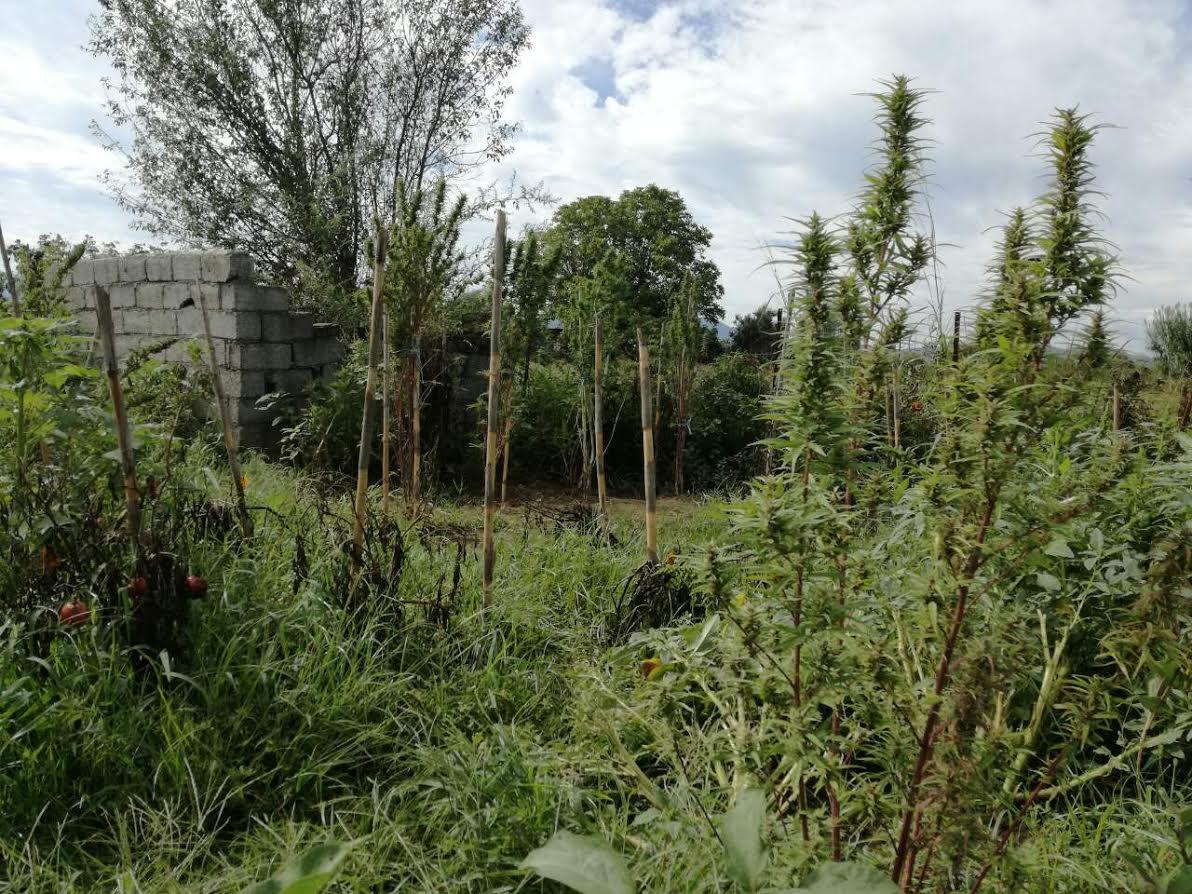 Αγρίνιο: τρεις συλλήψεις μετά από εντοπισμό δενδρυλλίων χασίς σε αγρόκτημα