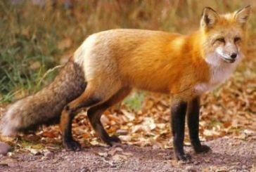 Ξεκινά δολωματικός ψεκασμός των κόκκινων αλεπούδων για λύσσα