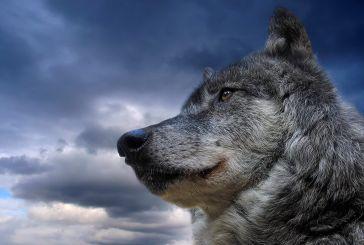 """900 κτηνοτρόφοι της Ορεινής Τριχωνίδας: """"οι λύκοι αφανίζουν τα κοπάδια μας"""""""