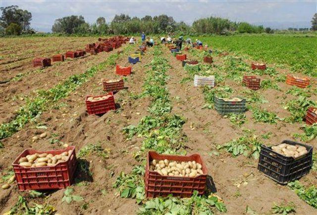 Κύκλωμα διακινούσε εισαγόμενες πατάτες ως ελληνικές