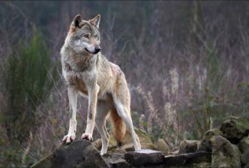 Επιθέσεις λύκων σε κοπάδια σε ορεινή Ναυπακτία και Θέρμο