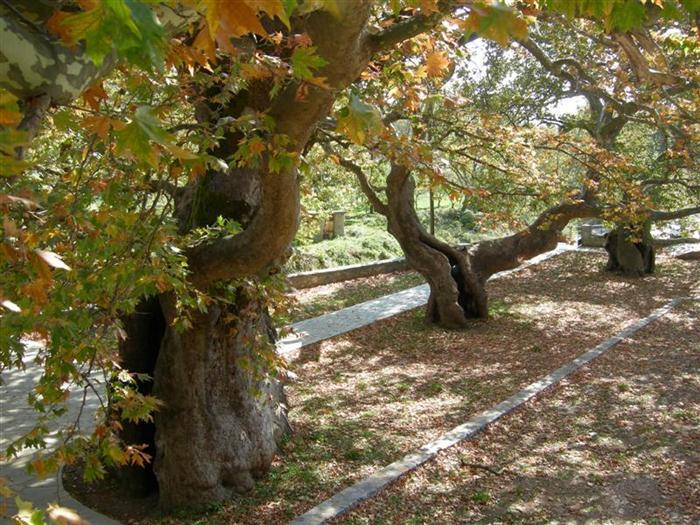Προβληματισμός στη Ναύπακτο για το μεταχρωματικό έλκος του Πλατάνου