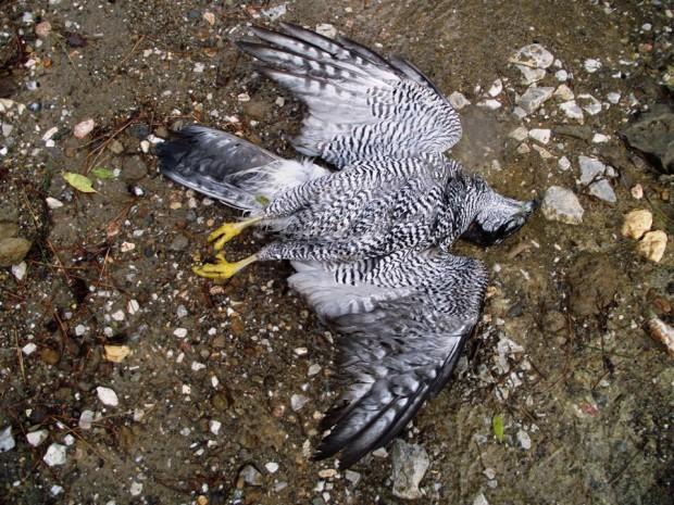 Απίστευτο περιστατικό στην Πάτρα: 39χρονος εκπαίδευε γεράκι και του το σκότωσε κυνηγός