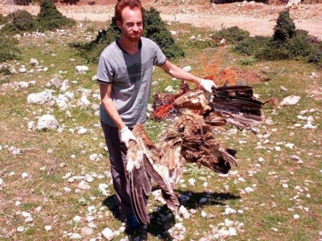 Νεκρό όρνιο στο Θύριο Βόνιτσας που ευρέθη από εθελοντή της Ε.Ο.Ε (κ. Νίκο Μπούκα)