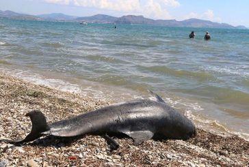 Νεκρό δελφίνι εντοπίστηκε από τη Λιμενική Αρχή Ναυπάκτου
