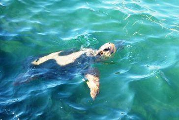 Σε εξέλιξη η ωοτοκία της θαλάσσιας χελώνας Caretta caretta στο Εθνικό Πάρκο Υγροτόπων Κοτυχίου Στροφυλιάς