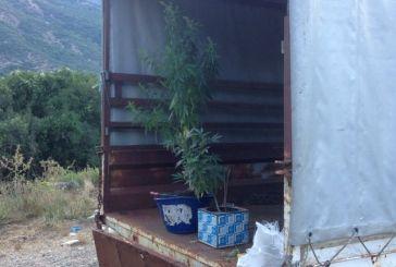 Βάλτος: καλλιεργούσε χασίς σε καρότσα φορτηγού