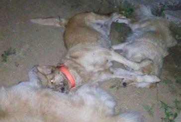Δεν έχουν τέλος οι δηλητηριάσεις σκύλων στο Αγρίνιο- σοκαριστικές εικόνες