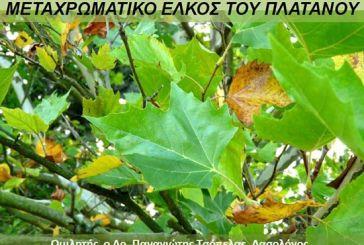 Εκδήλωση στο Αγρίνιο για το «μεταχρωματικό έλκος του πλατάνου»
