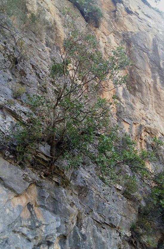 Μοναχικό δεντρί με τη ρίζα στα βράχια της Χούνης