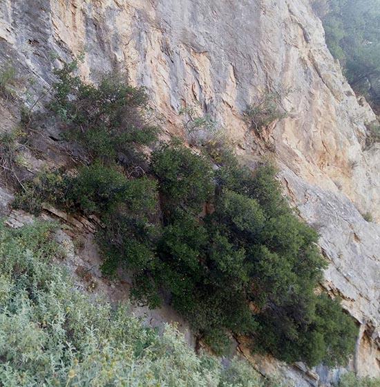 Λόχμη πουρναριών με τη ρίζα στα βράχια της Χούνης