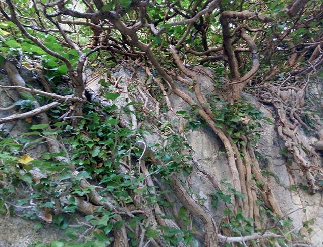 Κισσός με τη ρίζα στον βράχο απλώνεται έξω από τη στέψη του ριζόσπηλου δημιουργώντας ομπρέλα προστασίας από τον ήλιο