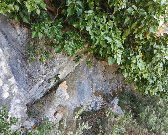 Ο κισσός με τη ρίζα στον βράχο και το φύλλωμα να στεφανώνει τη στέψη του ριζόσπηλου