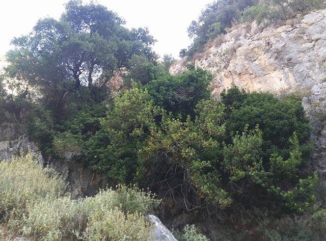 Δάφνη, κισσός και πουρνάρι αδερφωμένα με τη ρίζα στον βράχο στεφανώνουν τη στέψη ριζόσπηλου