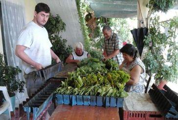 Καπνοκαλλιεργητές, οι άνθρωποι του μόχθου που δουλεύουν για 7 ευρώ την ημέρα