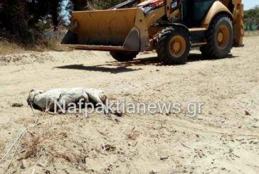 Μακύνεια: Πρόβατο σε αποσύνθεση στη μέση της παραλίας