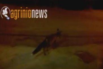 Αλεπού κόβει βόλτες σε καφενείο στα Παρακαμπύλια Αγρινίου