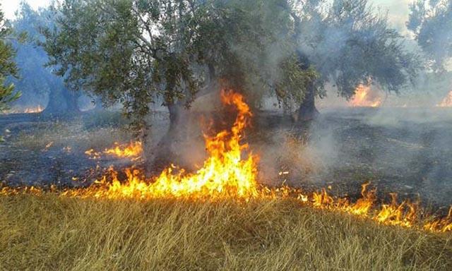 Φωτιά έκαψε ελαιόδεντρα στο Γιαννούζι