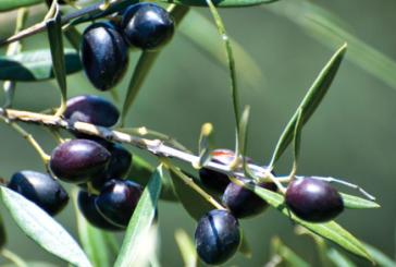 Ομιλία στην Αθήνα για την βιολογική καλλιέργεια της ελιάς στην Αιτωλοακαρνανία