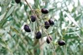 Μισή αναμένεται η νέα σοδειά της Καλαμών στην Αιτωλοακαρνανία