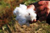 Διεπαγγελματική Οργάνωση Βάμβακος: Προτάσεις προς παραγωγούς ενόψει της περιόδου συγκομιδής