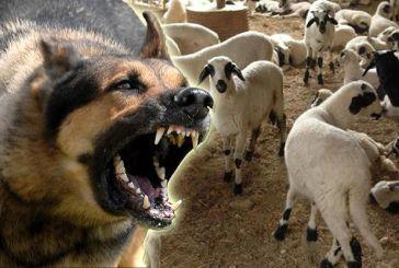 Επιθέσεις σκύλων σε πρόβατα στο Θύρρειο
