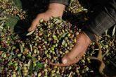 Μεγάλη ζημιά από δάκο και γλοιοσπόριο έχουν υποστεί οι ελαιοκαλλιεργητές
