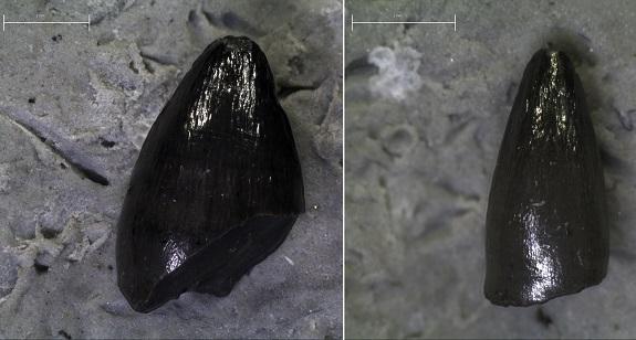 Δόντια προϊστορικών κροκοδείλων βρέθηκαν στο Αλιβέρι Ευβοίας