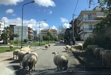 Μετρώντας προβατάκια μέσα στο Αγρίνιο!