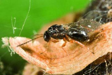 Βιολογική καταπολέμηση της σφήκας της καστανιάς
