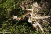 Δηλητηριασμένα δολώματα αφανίζουν την άγρια ζωή των Αγράφων