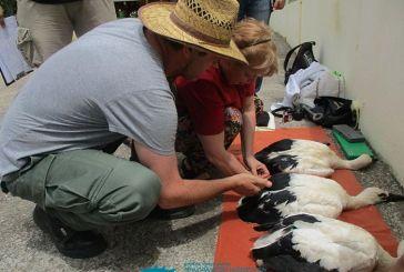 Δακτυλιώθηκαν πελαργοί στο Εθνικό Πάρκο Λιμνοθάλασσας Μεσολογγίου – Αιτωλικού