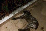 Η οργή ξεχειλίζει για τις φόλες-Θανάτωσαν κυνηγόσκυλο στο Μπαμπαλιό