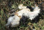 Νεκροί οι πελαργοί μετά από βραχυκύκλωμα σε κολώνα της ΔΕΗ στον Κάμπο Αμπελακίου